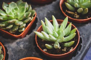 Aloe Potted Plants